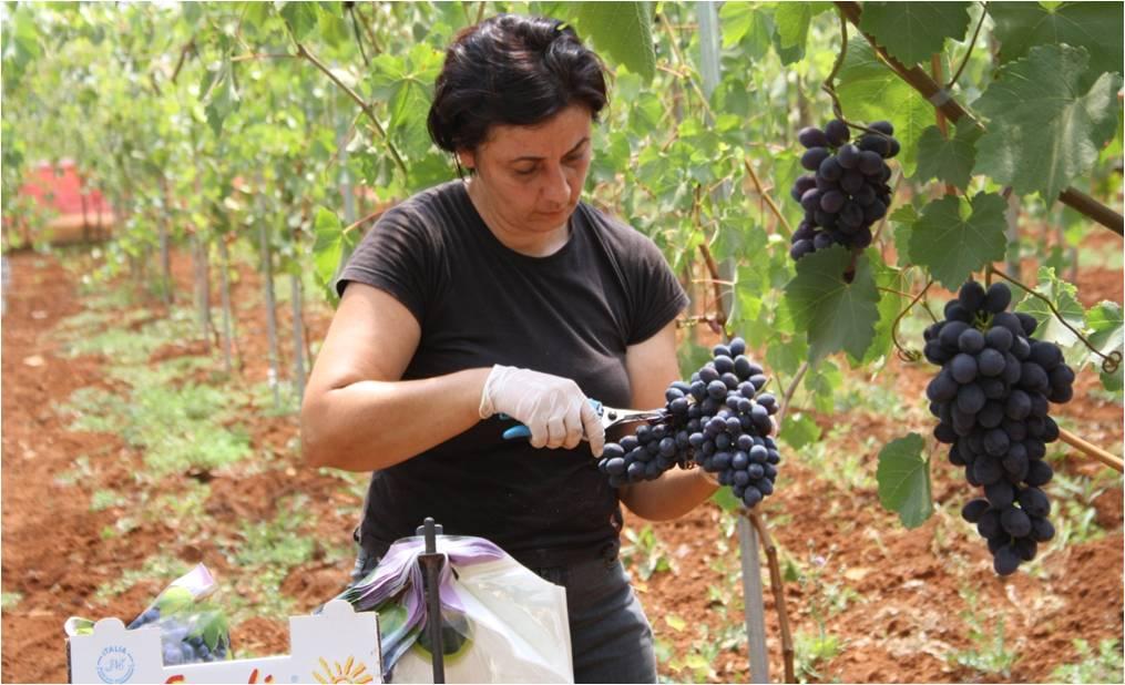 Inizia in puglia la raccolta dell 39 uva da tavola in serre - Uva da tavola puglia ...